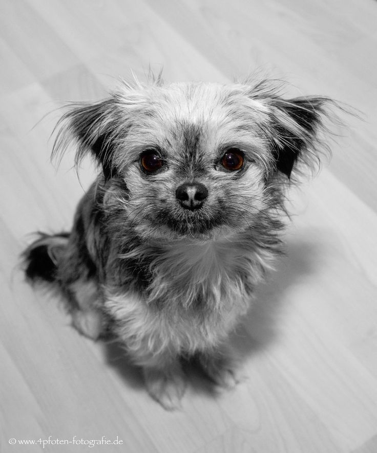 11 best Jack russell X Yorkshire terrier mix images on Pinterest ...