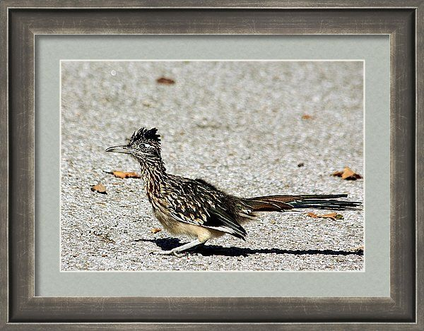 Nature Framed Print featuring the photograph The Greater Roadrunner by Sheila Brown