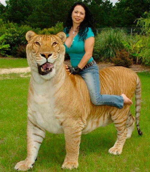 Gato gigante, Ligre: metade leão, metade tigre [vídeo] | Diário de Biologia