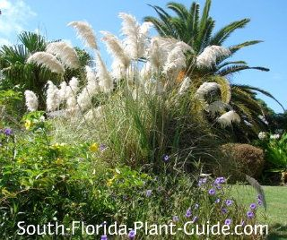 how to start purple fountain grass from seed