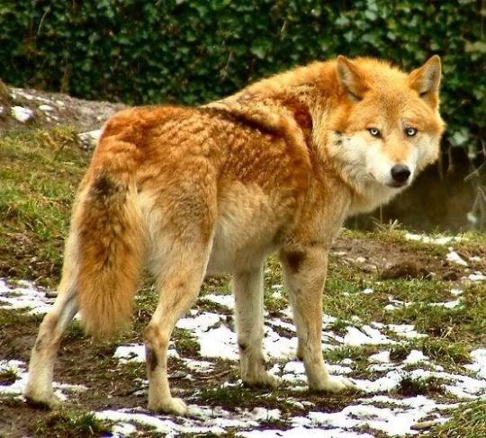 red timber wolves are so beautiful