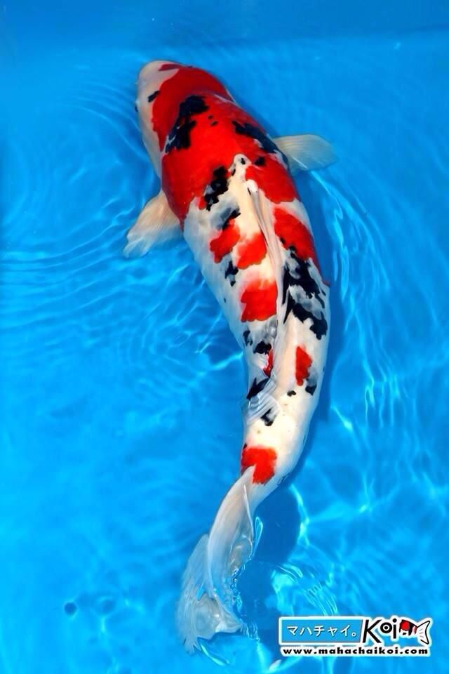 322 best koi and goldfish images on pinterest for Goldfisch und koi
