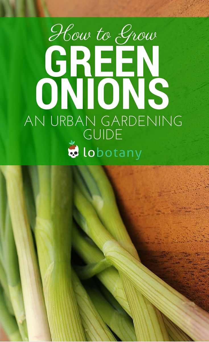 how to grow green onions youtube