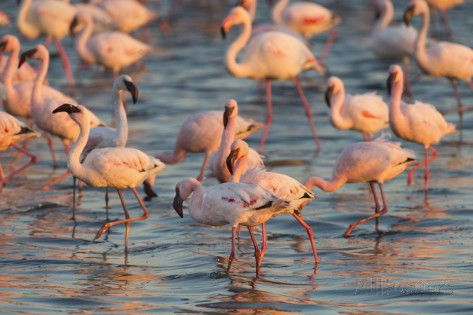 Greater Flamingoes (Phoenicopterus Ruber) and Lesser Flamingoes (Phoenicopterus Minor) Photographic Print