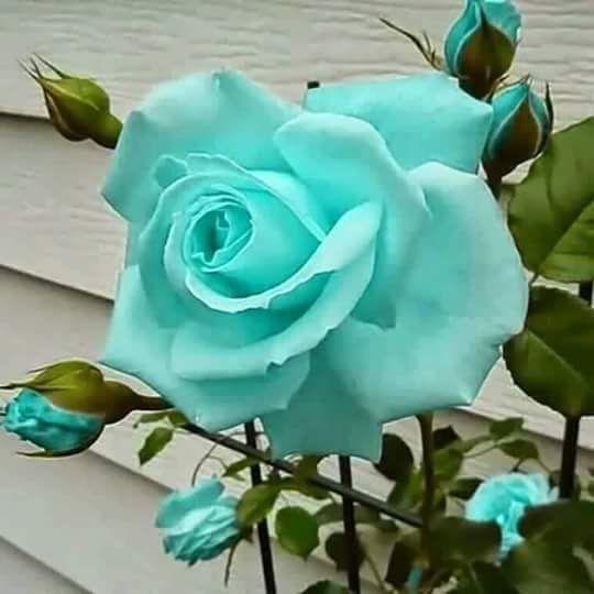 Resultado de imagen para rosas azules