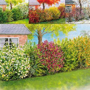 Haie 4 saisons   1 tamaris (Tamarix ramosissima) fleurs roses juil-sept + 1 mimosa de paris (Forsythia x intermedia 'Spectabilis' ) fleurs dorées fév-mars + 1 seringat (Philadelphus 'Virginal') fleurs parfumées mai + 1 groseillier sanguin (Ribes sanguineum 'King Edward VII') fleurs rouge-rose mars-juin + 1 symphorine (Symph. x doorenbosii 'Magic Berry') fleurs blanches, baies blanches + 1 boule-de-neige (Viburnum opulus 'Roseum') fleurs blanches mai-juin > 4,5m   Htr : 2m   plant-expo-cons…