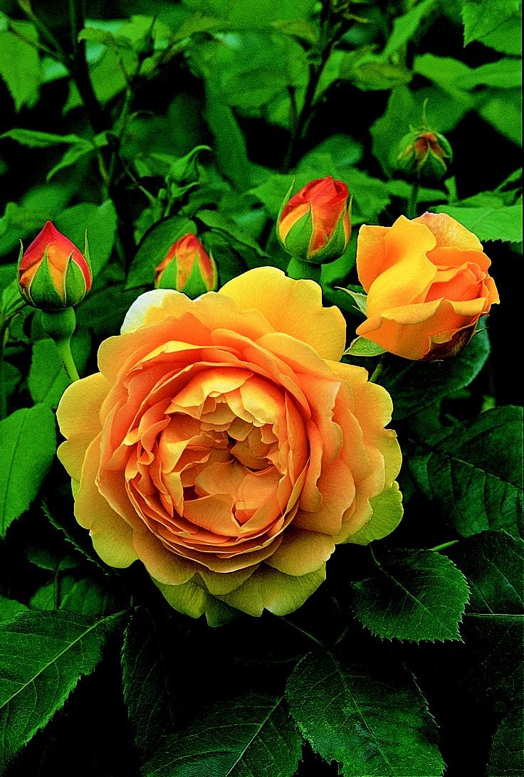 rose GOLDEN CELEBRATION