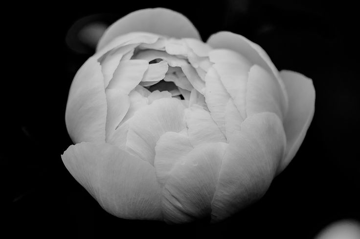 Peony by Graziella Serra Art & Photo on 500px