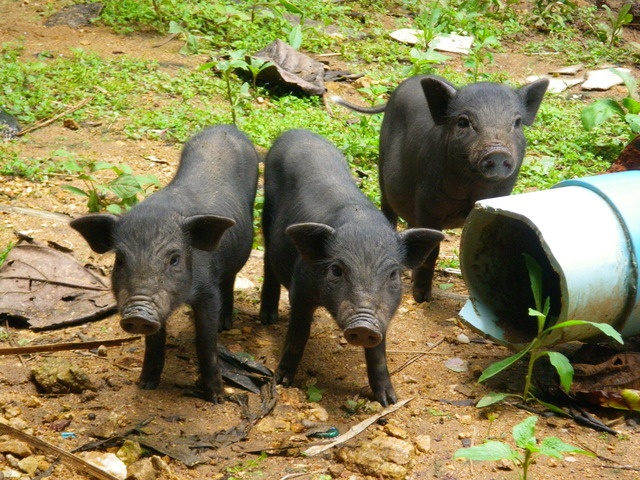 Animals In Chiang Rai Thailand Swines A Photo By