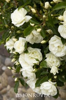 Flower Carpet® White Groundcover Rose - Easy care groundcover with sparkling white blooms. Extra long flowering season. Resistant to mildew and black spot, and tolerant of drought once established. Exceptionally versatile for use along borders and in pots and hanging baskets.