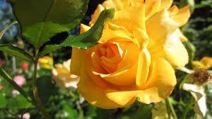 keltaiset ruusut