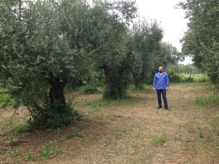 Our Olive Grove, Krestena ilias, Greece, Varelas Valentinos