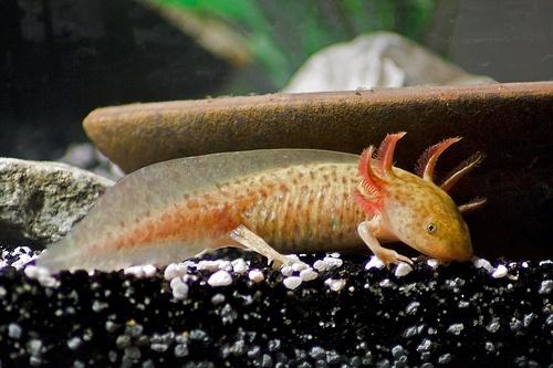 Frida the Axolotl #Salamander
