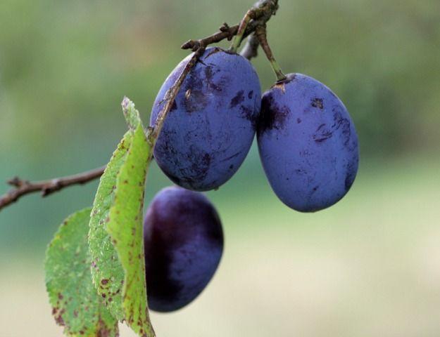 Quetsche, mirabelle, reine-claude, prune d'Ente... Quelle variété de prunier choisir pour consommer nature, ou pour la cuisine ?