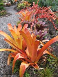 Aechmea blanchetiana.  Great article about bromeliads on Davesgarden (great site) by Palmbob, who's also an expert on palms and cactus.