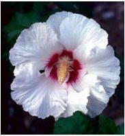 hibiscus snoeien soorten struiken hibiscus hibiscusstruik bloemen struik planten tuin ontwerp