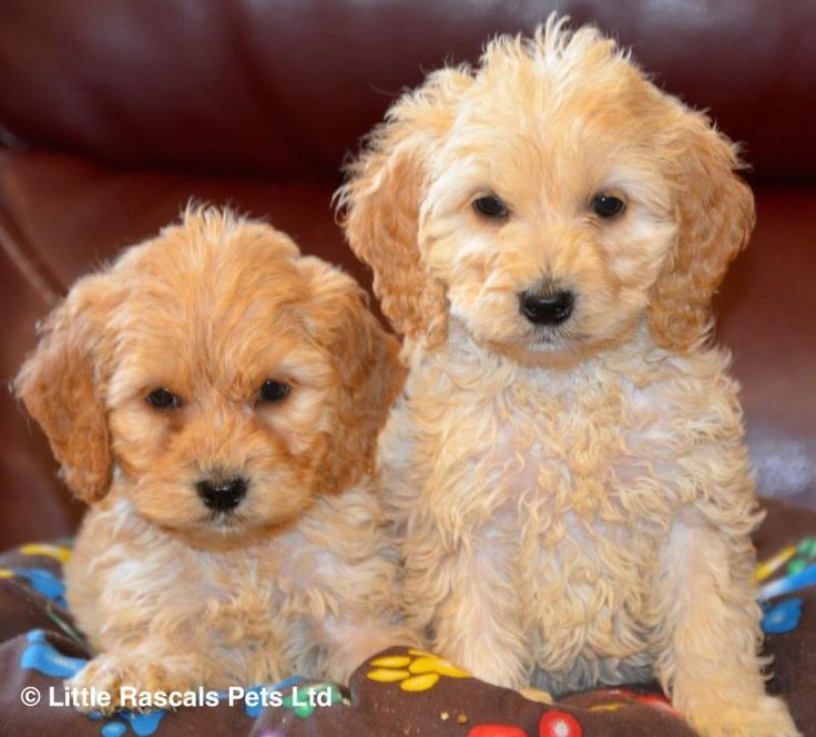 Beautiful Cockapoo puppies - Designer and Cross Breed Puppies For Sale