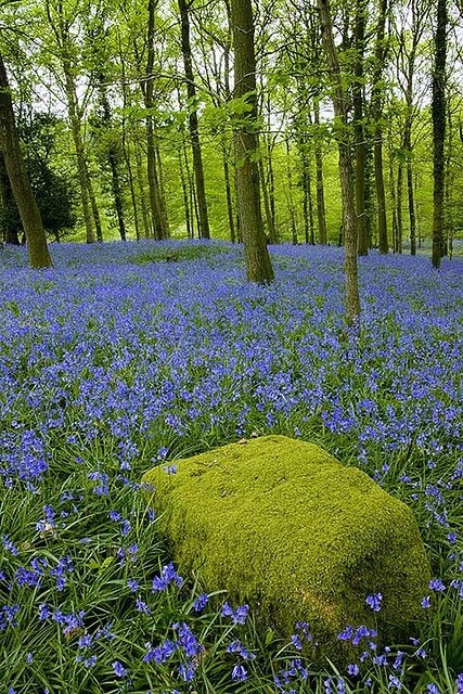 Moss covered rock and bluebells in Forest of Dean, Gloucestershire, England.              Ooo it's lovely when the bluebells come out!