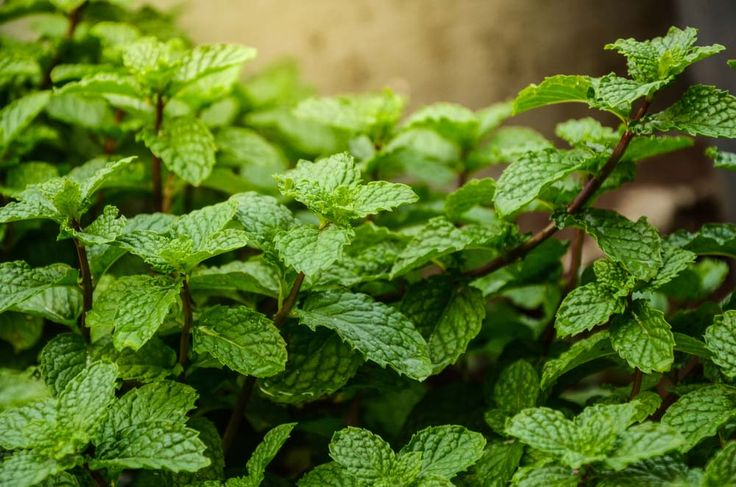 If you're creating an herb garden in your strawberry jar, don't forget to add mint! This is a versatile herb that you can use in the kitchen, in addition to being fragrant. They do well in strawberry planters because they spread easily. The pockets in a strawberry jar will keep your mint plant corralled.