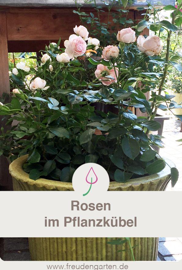 Rosen Im Pflanzkubel Rosen Pflanzen Pflanzen Und Bepflanzung