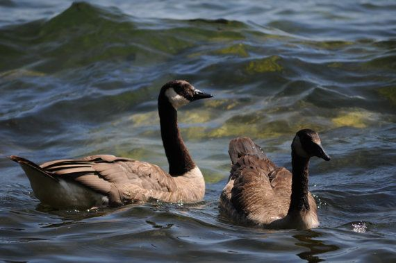 Canadian Geese Canadian Canada Goose  Instant by OrangePeelPaperie