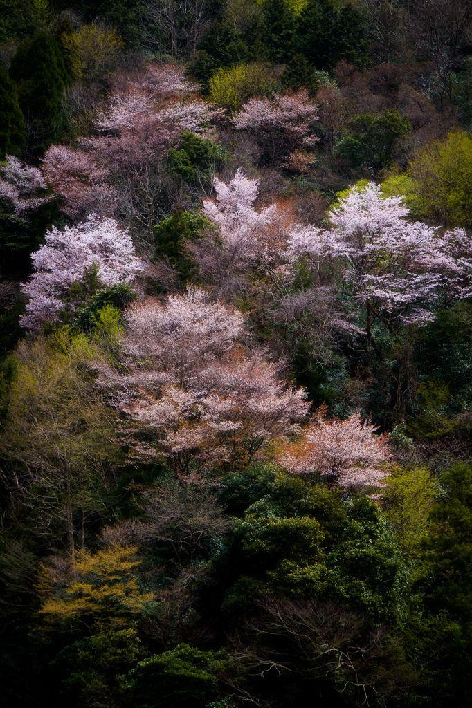 Cherry Blossoms in Gifu, Japan | Naomi Sugitani 郡上の桜