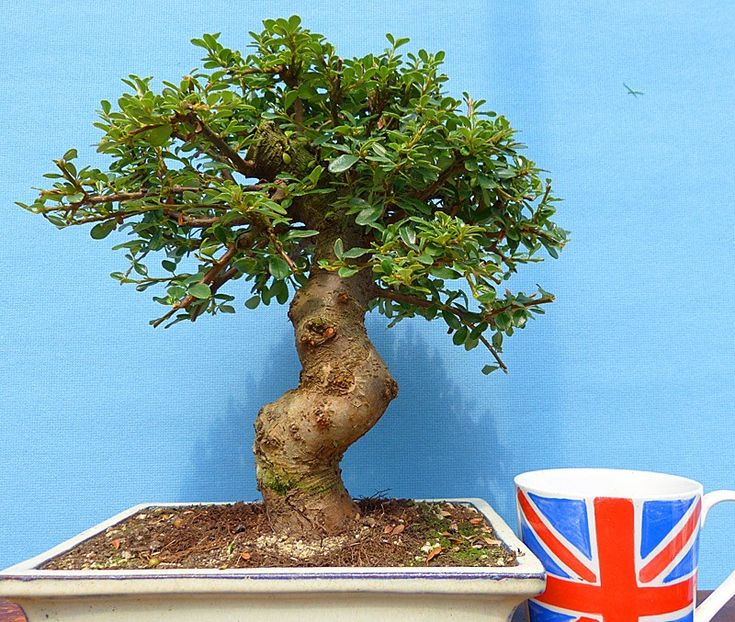Cotoneaster Evergreen Flowering Bonsai Tree