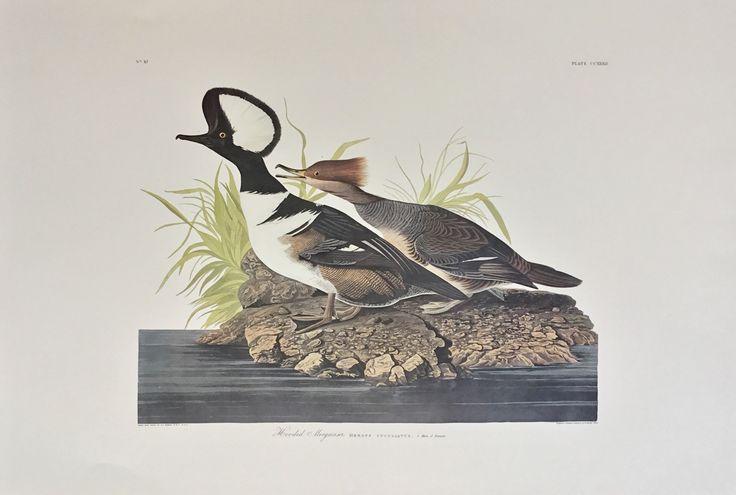 Princeton Audubon Hooded Merganser