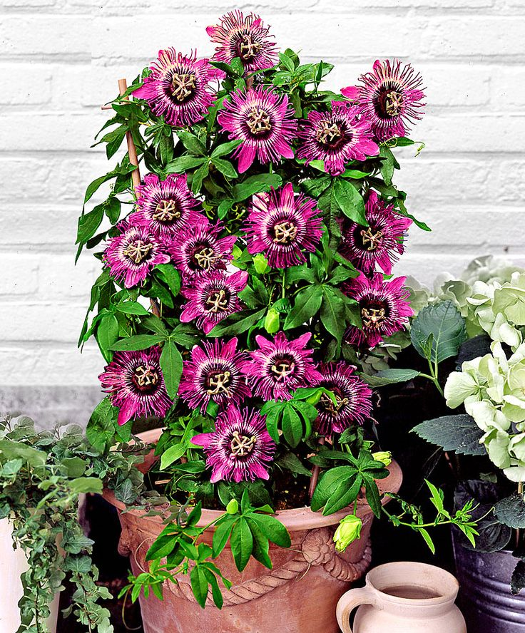 Passiflora 'Purple Rain' | Plants | Bakker