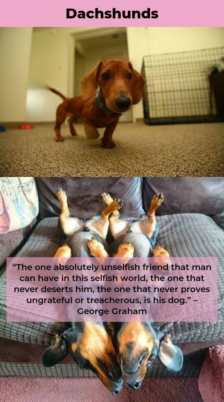 Daschund Dogs Daschundsofinstagram Daschunddaily With Images