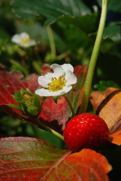 Growing Tips For Strawberry Plants - There are three types of strawberry plants. Taking care of strawberries isn't too terribly difficult when you understand the different kinds and their growing needs. Learn more in this article.