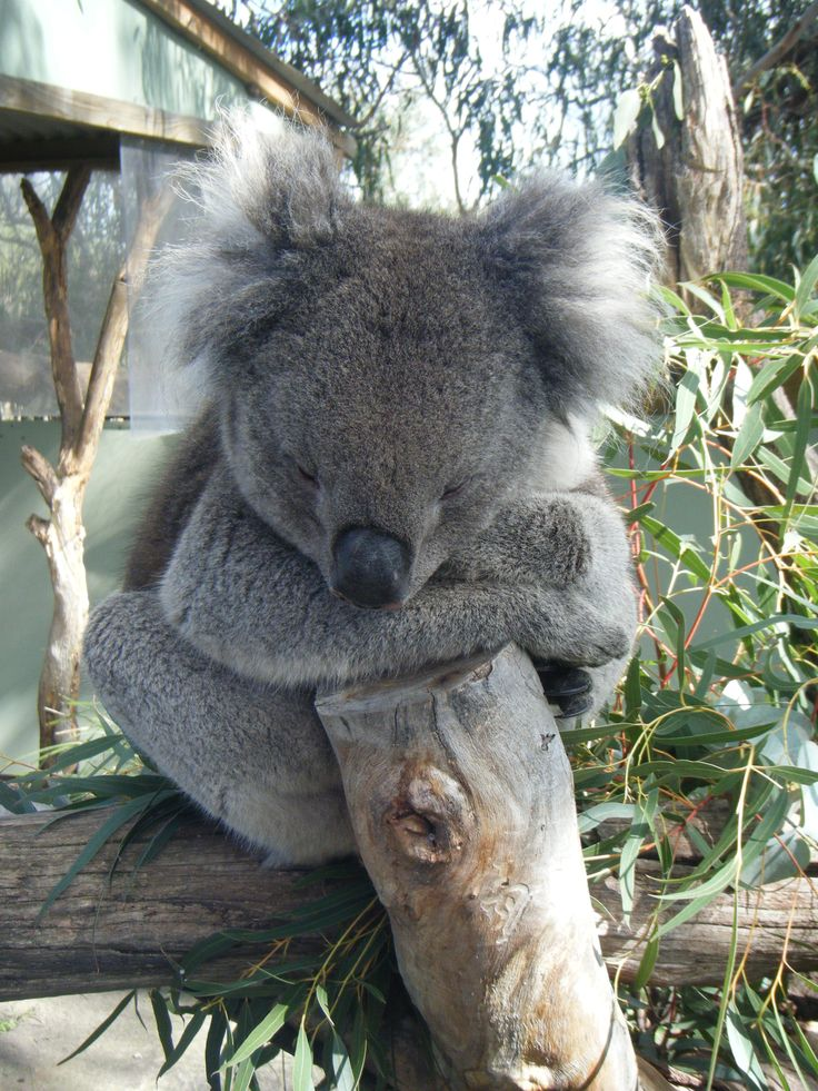 Everyone's favourite, the Koala at Moonlight Sanctuary, Mornington Peninsula, Victoria.