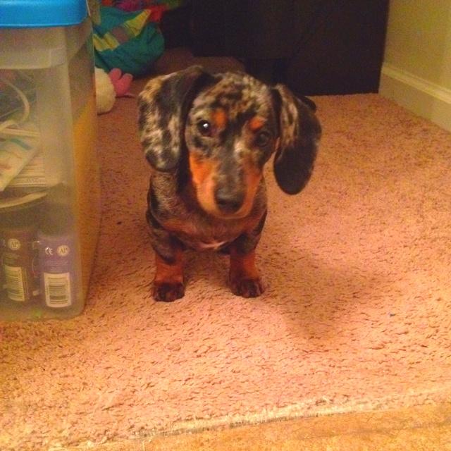 My dapple dachshund Belle!