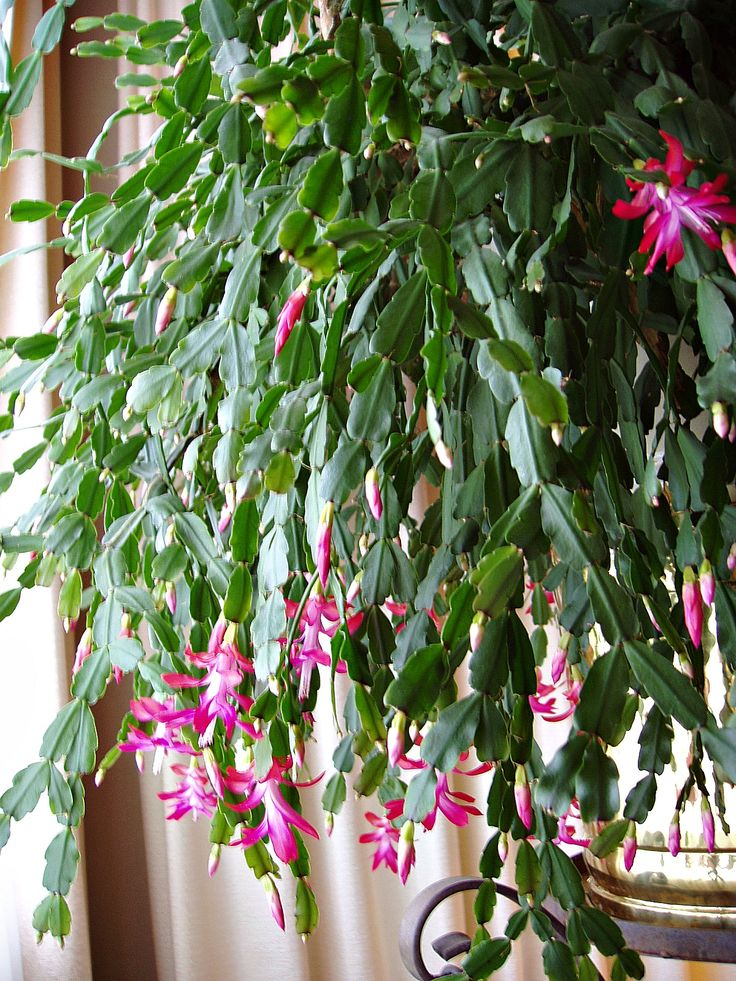 christmas cactus care in arizona