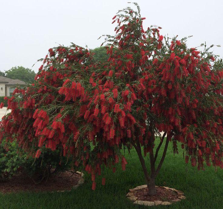 bottlebrush tree in Cibolo by Rich Hartsell Central Texas Gardener