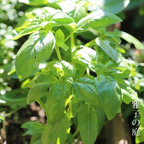 スイートバジルの育て方 虫食いはどうすればいい 植物 分類