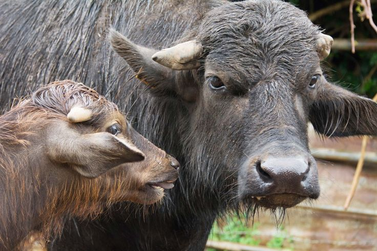 Thompson Buffalo; Mother and calf. Photographed by Dan Wood for the Beerenberg Provenance Project
