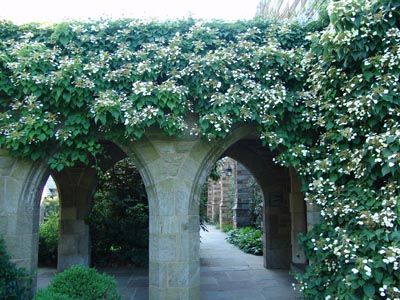 68 best climbing vines images on pinterest gardening japanese hydrangea vine moonlight for the front porch area publicscrutiny Choice Image