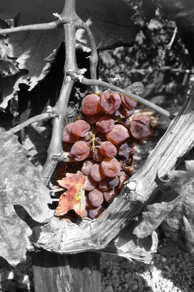 #Uvas #Contiempo #Enoturismo #Viticultura