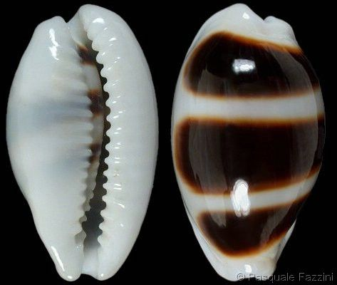 Apparently, these kind of shells are called cypraeidae...the world is so mysterious and amazing!