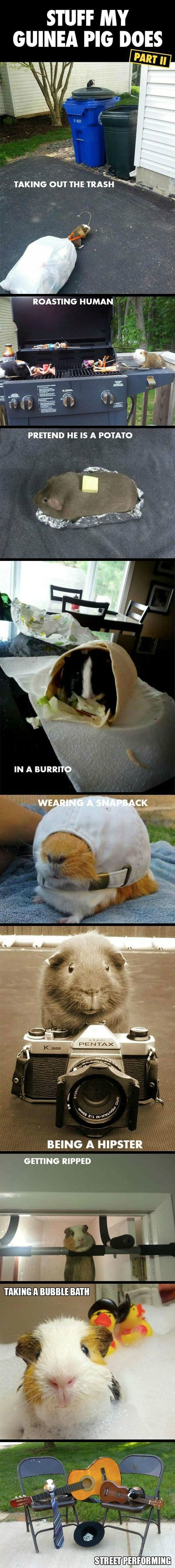 Stuff my guinea pig does. ...for some reason this really makes me laugh. THE POTATO ONE HAHAHA