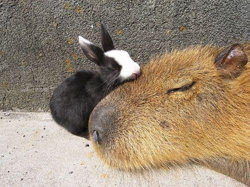 他の動物と仲良しのカピバラ03