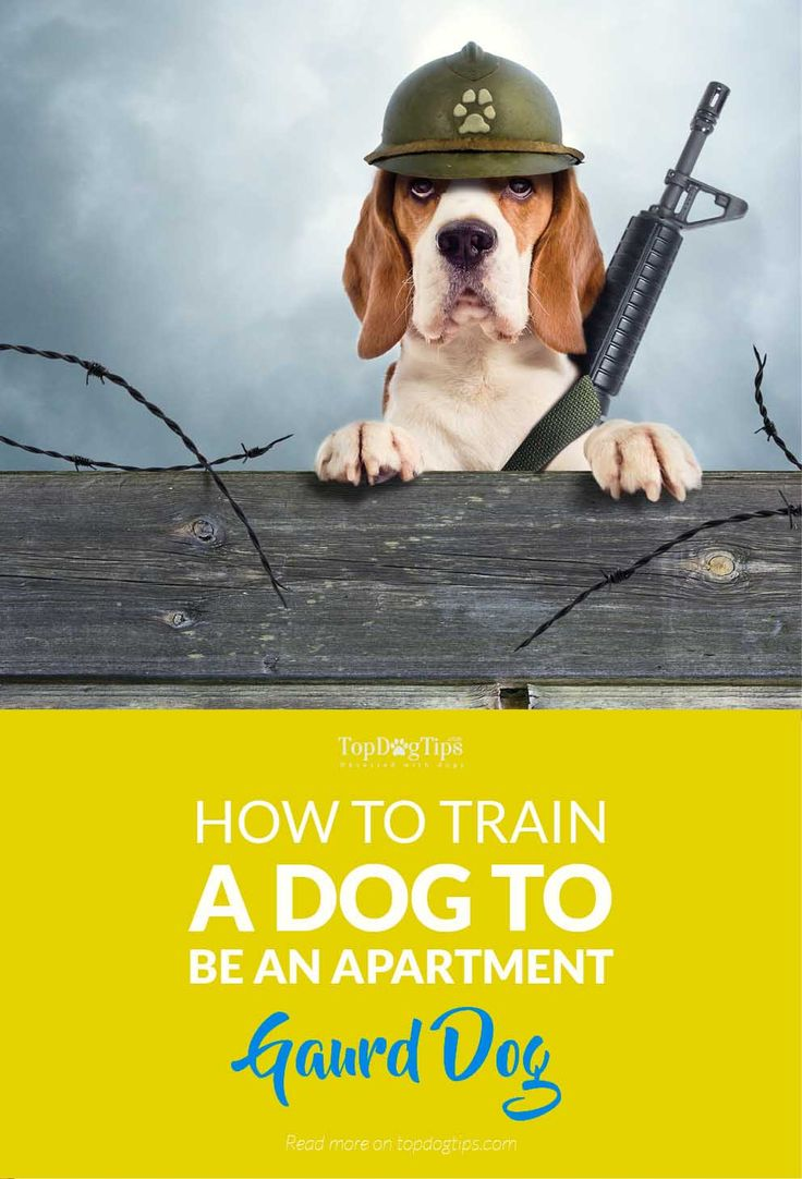 How to Train a Dog to Be an Apartment Guard Dog for Protection. When most people go out to get a dog for themselves, their biggest requirement is a companion they can live with and a protector they can rely on. And, while most dogs have it in their wiring to be protective, some dog breeds do not use this trait well without prior training. #dogs #apartment #training #security #diy #safety #homesecurity