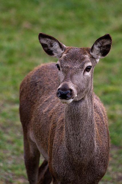 Red Deer at the British Wildlife Centre by Sophie L. Miller, via Flickr