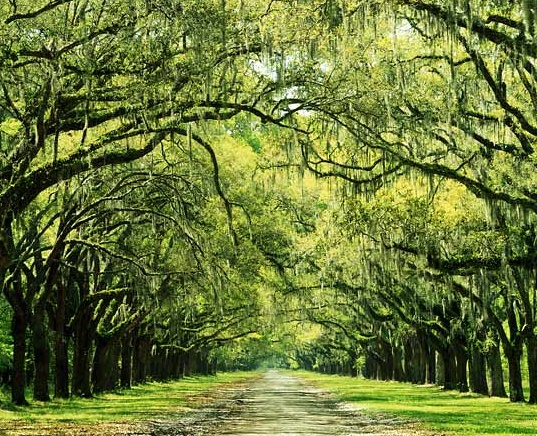 Long driveway with tree canopy dream home pinterest for Canopy of trees