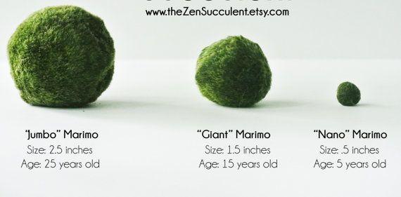 Jumbo Japanese Marimo Moss Ball Premium by theZenSucculent