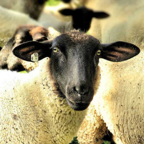 The Royal Sheep - Rhönschaf by B℮n on Flickr.
