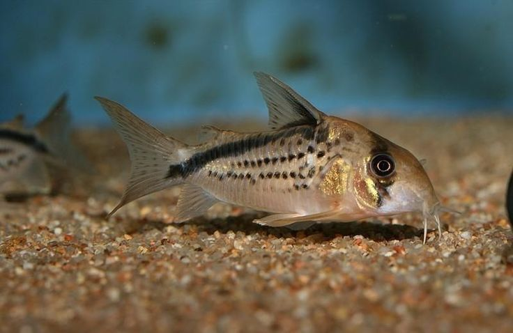 1000+ images about Corydoras Catfish on Pinterest Madeira, Cats and ...