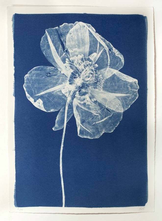 Cyanotype Poppy. No attribution shown.would seem to be an old print.