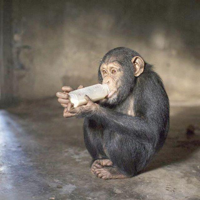Hawa es un bebé chimpancé que vive en el Centro de Conservación de Somoria (Guinea) junto a otro medio centenar de primates de su especie. Este grupo es el más numeroso de la reserva, que comprende 6.000 kilómetros cuadrados de sabana y bosques tropicales secos. Los chimpancés occidentales son una subespecie amenazada y muchos de los compañeros de Hawa, que en esta imagen de Dan Kitwood (Getty) aparece bebiendo un sustituto de la leche, han sufrido daños físicos y psicológicos a manos de los…